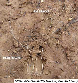 pig tracks