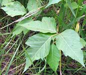 poison ivy in low shrub form