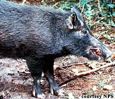 wild boar with sharp tusks